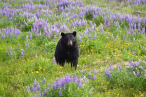 Black Bear in Lupine at Log Cabin.