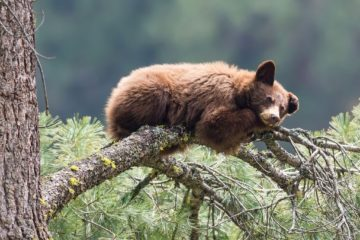 cinnamon bear in tree