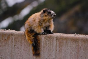 Marmot on the White Pass