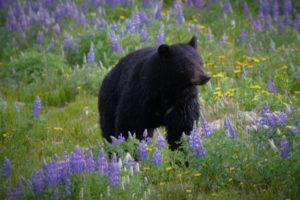 raymie bear